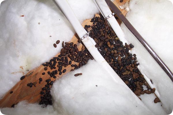 Rat Droppings Compared to Mouse Droppings Iden Rat vs Mouse