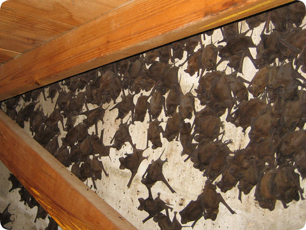 Florida Bat Removal Business