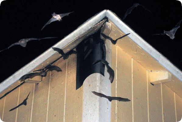 Fort Lauderdale Amp Miami Bat Control Amp Removal