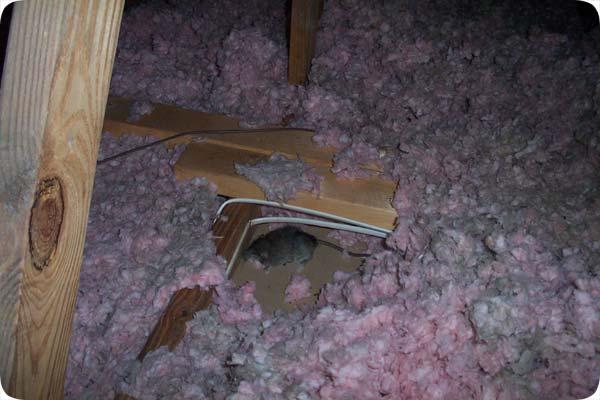 Photos Of Dead Rats