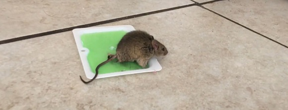 Inhumane Glue Traps For Rats