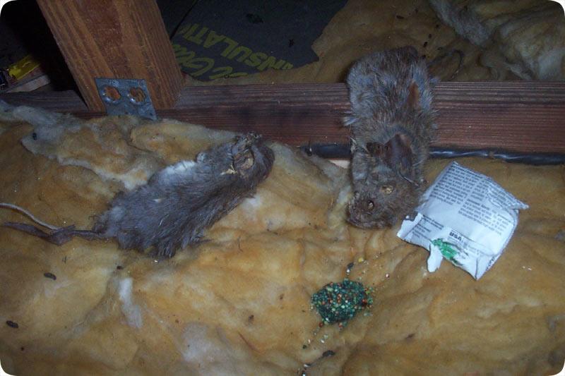 Orlando Florida Poison Control For Rodents